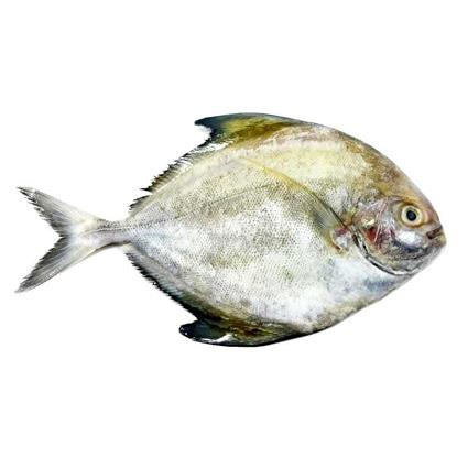 Black Pomfret - Medium - Cambay Fresh