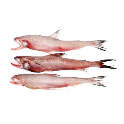Bombay Duck Fillets - Fresh