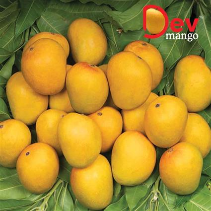 Mango Alphonso Half Dozen