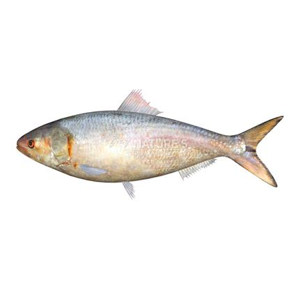 Hilsa Whole - Fresh